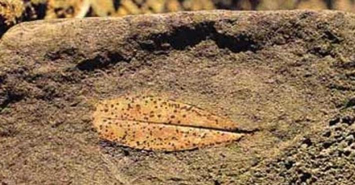 Ελιές ηλικίας 50.000 ετών
